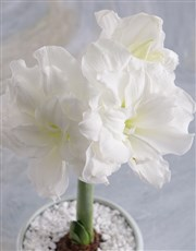 Thank You Amaryllis Plant