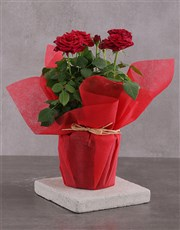 Red Rose Bush Delight