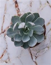 Succulent Shine
