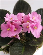 Heart At Home African Violet