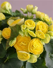 Yellow Begonia Surprise