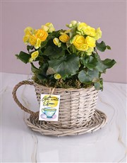 Get Well Begonia Plant