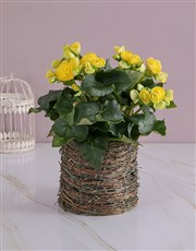 Yellow Begonia in Moss Basket