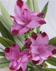 Chic Curuma Plant in Striped Vase