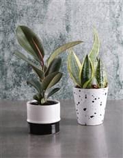 Sanseveria in Speckled Pot