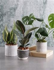 Virtuous Sanseveria Plant