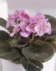 Life In Full Bloom African Violet
