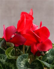 Caught a Bug Red Cyclamen