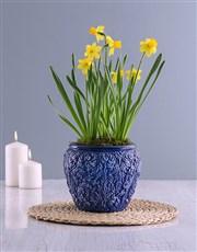 Yellow Daffodil Plants In Swirl Pot