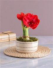 Love Pot Amaryllis