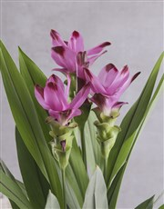 Curcuma in Contemporary Glazed Pot