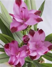 Forever and Always Curcuma Plant