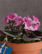 Get Well African Violet