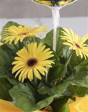 Radiant Gerbera Blooms