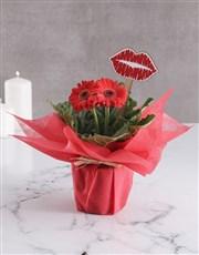 Kisses And Gerbera Plant Gift