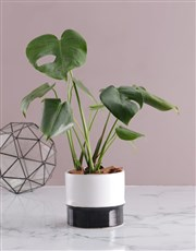 Monstera in Two Toned Ceramic Pot