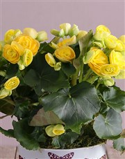 Always Be There Yellow Begonias