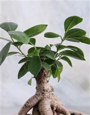 Adventurous Ficus Ginseng In A White Ceramic Pot