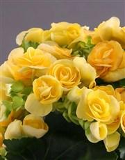 Yellow Begonia In White Ceramic