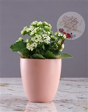 Heres to Women Kalanchoe Plant