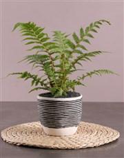 Fern Plant in Striped Pot