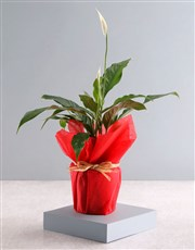 With Love Spathiphyllum Plant
