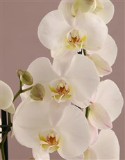 Pretty in Pink Birthday Orchid
