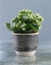 White Kalanchoe in Stripe Pot