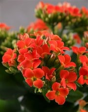 Vibrant Kalanchoe Plant in Ceramic Pot