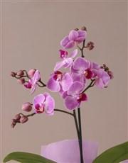Pink Midi Orchid Birthday Hamper