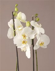 The Best White Orchid Hamper