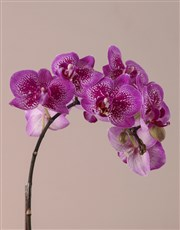 Midi Pink Orchid Birthday Gift
