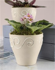 African Violets In Heart Crate