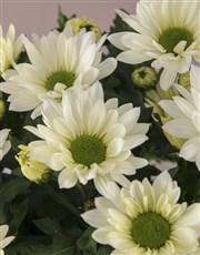 Duo of Chrysanthemum Gourmet Gift Set