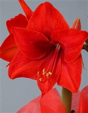 Red Amaryllis Nougat Hamper in Heart Crate
