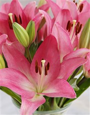 Pink Lily Blossoms