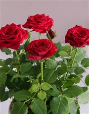 Red Rose Bush In Heart Design Pot