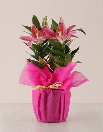 secretarys-day: Stargazer Plant in Wrapping!