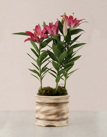 spring-day: Stargazer Plant in a Ceramic Pot!