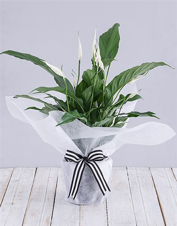 secretarys-day: Spathiphyllum in White Tissue Paper!