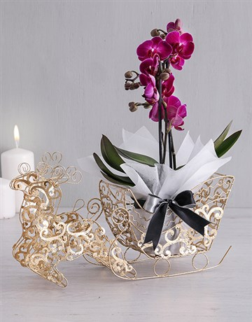 Phalaenopsis Orchid in Golden Sleigh!