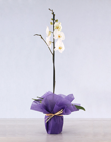 orchids: Elegant Orchid Gift Plant!