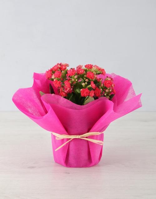 flowering: Kalanchoe in Tissue Paper!
