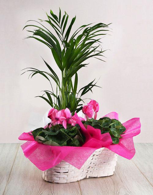 plants: Blooming Cyclamen!