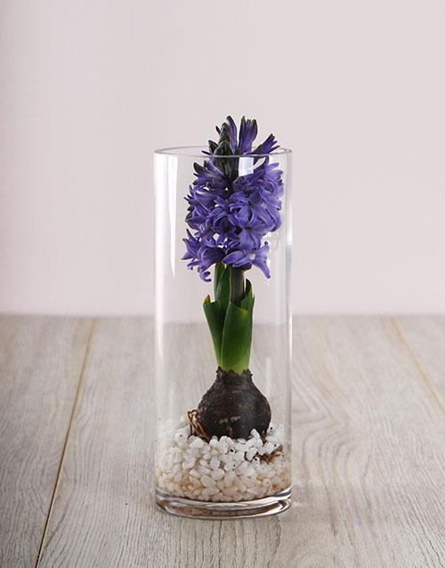 hyacinths: Purple Hyacinths Delight!
