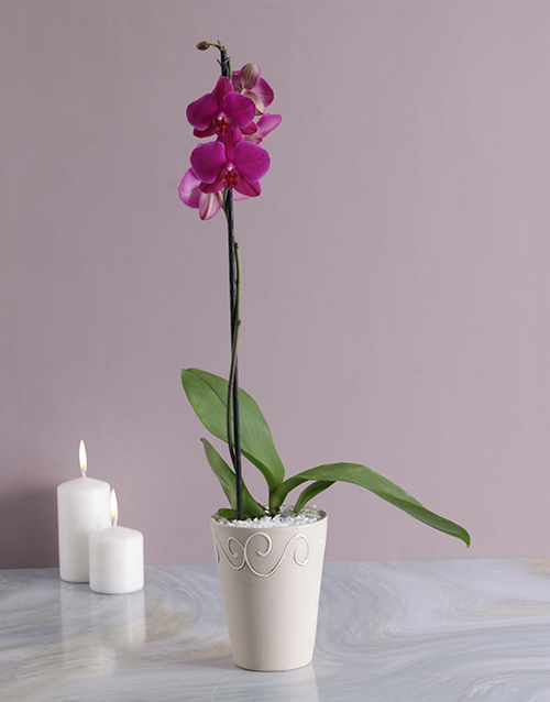 apology: Phalaenopsis Orchid in Cream Pottery!