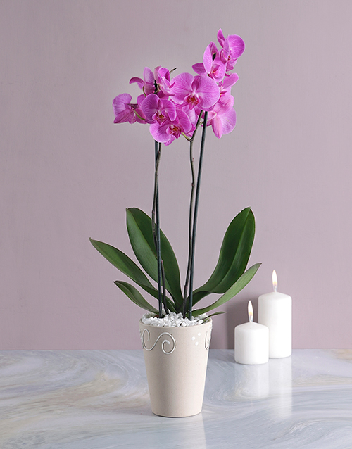 orchids: Phalaenopsis Orchid in Cream Pottery!