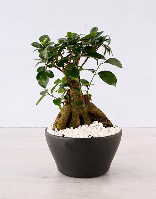 birthday: Ficus Bonsai Tree!