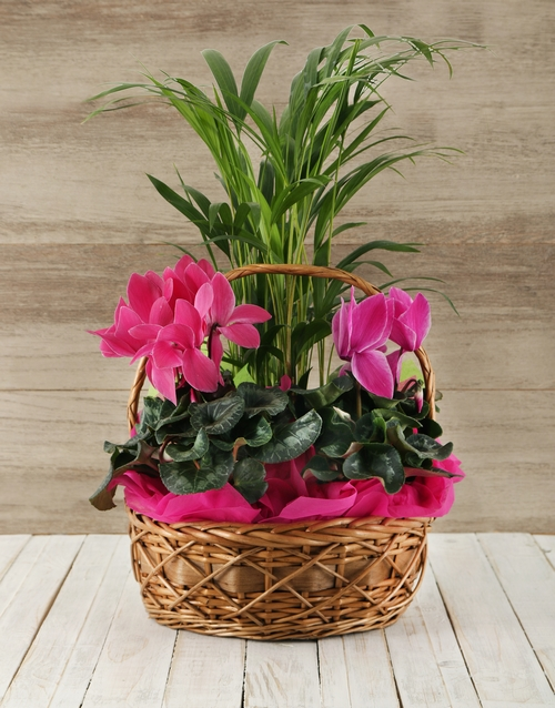 cyclamen: Basket of Indoor Plants!
