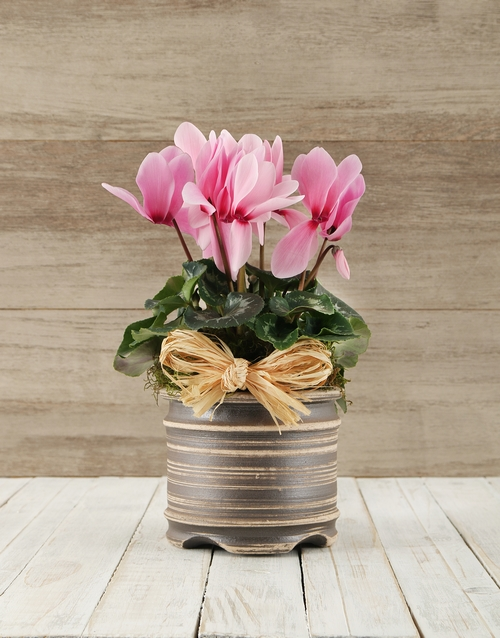 cyclamen: Cyclamen in a Pot!